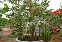 melancia no vaso