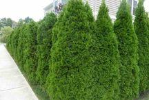 Trädgårds häck