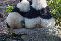 Panda's ❤❤❤❤❤❤❤