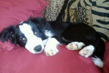 Border Collies / All about my favorite breed!