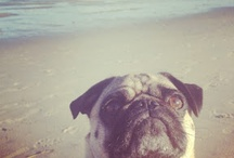 pug / our pug is named after my wife's first crush - Ralph Macchio