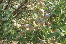 Our Almond Trees