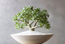 Crassula ovata - bonsai