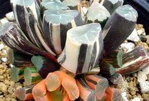 Sempervivum + Succulent