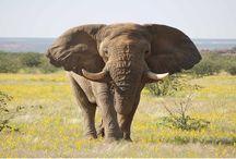 Animal Elephant Wallpaper   Famous HD Wallpaper