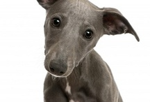 Whippet dreamboats
