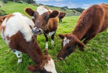 Grass-Fed Dairy Benefits / The health and environmental benefits of grass-fed organic dairy.