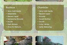 Pet poultry