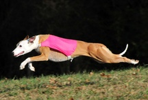 Whippets / by David Howton