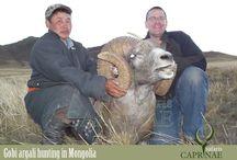 Gobi argali hunting in Mongolia