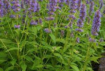 New England Hummingbird Garden / cold tolerant plants and shrubs for Hummingbirds