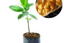 Tabulampot / Semua tanaman dalam board ini bisa dikirim keseluruh Indonesia, silahkan order ya, tel: 0341-599399 I SMS center: 08569020300 atau kunjungi website kami www.kebunbibit.id