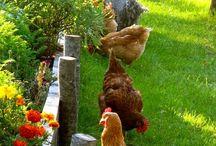 Kanala / Chicken