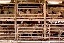 BAN LIVE EXPORT / by Last Chance for Animals