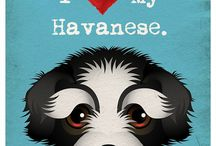 I love my havanese