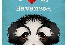 I love my havanese