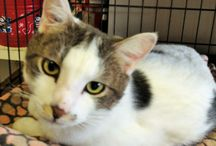 Sam / Sam is a Special Needs cat with Epilepsy that requires medication twice a day. He is a very loving and playful cat.