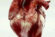 Cuore anatomico
