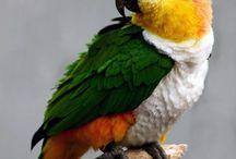 """Pionites / Al genere Pionites appartengono solamente due specie di pappagalli, che si suddividono a loro volta in cinque sottospecie totali. Si tratta di magnifici pappagalli di media taglia, dalle forme e dai colori estremamente eleganti. Sono comunemente detti """"caicchi"""", poichè nella lingua di Haiti la parola """"caica"""" significa appunto """"pappagallo""""."""