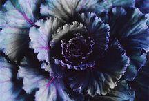 Plants [Ornamental Cabbage]