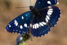 ΠΕΤΑΛΟΥΔΕΣ - ΣΚΩΡΟΣ / Οι Πεταλούδες και οι Σκώροι  ανήκουν στα λεπιδόπτερα έντομα, που συνηθίζεται να τα ονομάζουμε γενικά πεταλούδες. Συμβολίζουν τη χαρά, ή  τη θλίψη σε άλλες περιοχές  ή και την αιώνια ζωή, και είναι συνδεδεμένα με την ελευθερία, την ευτυχία. Ο σκώρος ή η νυχτοπεταλούδα  παρουσιάζει σημαντικές διαφορές από αυτήν. Συνήθως, είναι μικρότερα από τις πεταλούδες, δεν έχουν έντονα χρώματα, ενώ η κύρια μορφολογική διαφορά τους  βρίσκεται στις κεραίες και τα φτερά τους.
