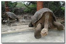 Lonesome George and giant tortoises