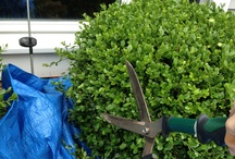 Easy clipping / Spread a tarp around where you are trimming your hedges to catch the clippings. / by Susan Tyler