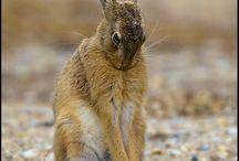 Hare rph