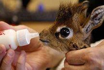 Underbara giraffer