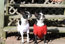 'BostonTerriers=MyObsession(thanks GracieLou)! / by Anna-Carroll Boroughs