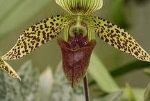 Orquideas (Orchid) / La impresionante belleza de las orquídeas! / by Mariella Bobadilla Pichardo