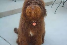Labradoodles / In homage to Lola Boo, our beautiful chocolate doodle