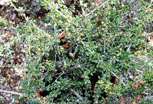 Piante Tappezzanti / Vendita Online Piante Tappezzanti in vaso - Sale Online Ground Cover Plants in pot.