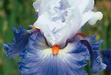 Finland 100 years, blue & white garden