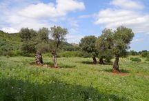 Ulivi Monumentali di Puglia Candidati Unesco / Sosteniamo la candidatura Unesco del paesaggio della Piana degli Uliveti Monumentali di Puglia