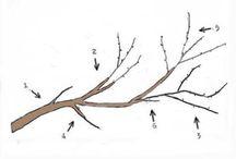 Gyümölcsfa metszése