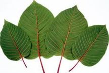 Kratom (Mitragyna speciosa)- WHAT it is & WHY it can change YOUR LIFE! / Free yourself from your ailments in an alternative fashion, as the Balinese and Thai have been doing for over a century!