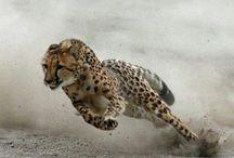 Refs - Cheetah