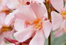 Laurier / Le laurier est un arbuste au feuillage coriace et persistant qui ne supporte ni grands froids, ni excès d'eau, ni sécheresse prolongée. Ses fleurs blanches sont regroupées à l'aisselle des feuilles. (M;Faucon)