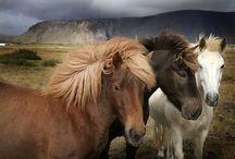 IJslanders (Icelandic horses) / IJslanders (IJslandse paarden, Icelandic horses)