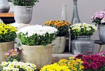 &POTTED CHRYSANTHEMUM / An ideal houseplant for Autumn.