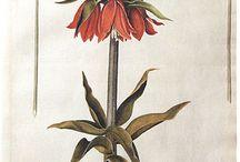 Botanical Illustration and Art / #plancher #illustrationer #botanic #växter #fauna #vintage  #Illustration