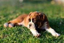 Love / Boxer Puppy