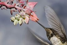 Hummingbirds / Information to use in creating a unit study