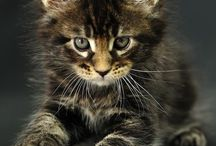 Maine Coon | メインクーン | CAT