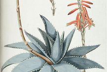 Aloes / Gotta start collecting pictures of them beautiful plants I'm going to spend the next three years of my life with...