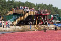Cranberries/cranberry bogs