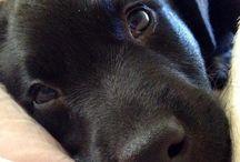 Labradors noirs