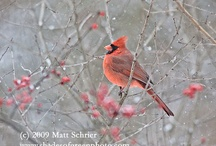 My Bird Photography / My personal bird photographs.  A lot of cardinals and other songbirds.