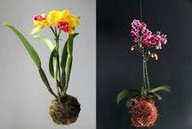orhide